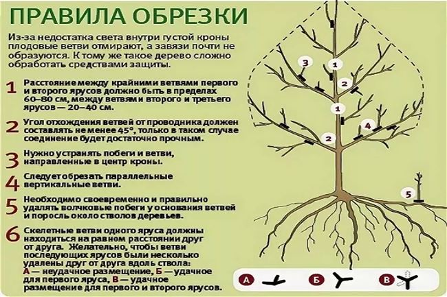 Правила формирования кроны яблони