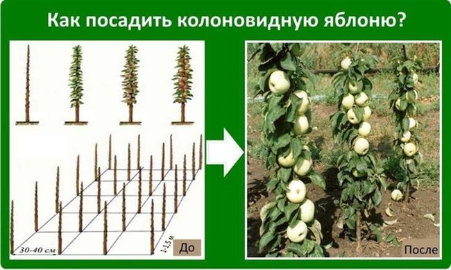 Уход за колоновидными яблонями осенью