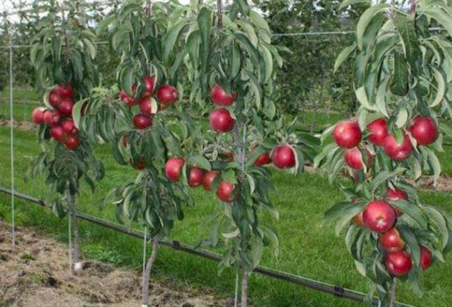 Видео: Как подготовить колоновидную яблоню к зиме