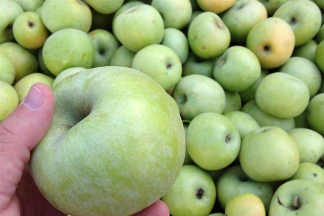 Вкус яблок Семеренко