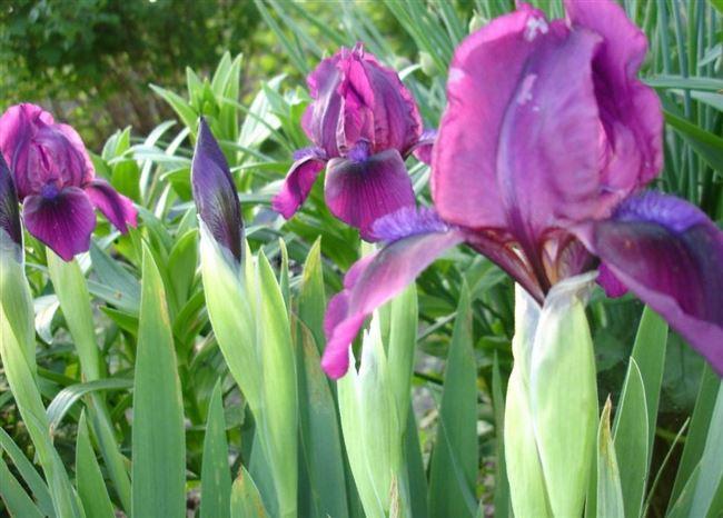 Высаживание, выращивание и уход за ирисами