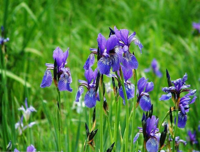 Описание и особенности растения сибирского ириса