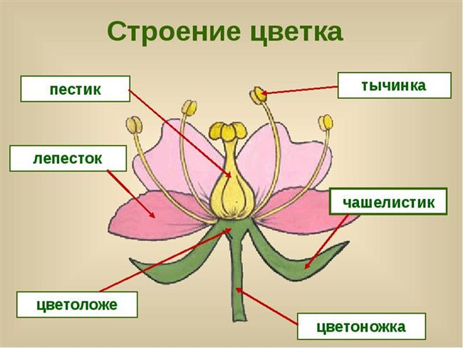 Генеративное семенное