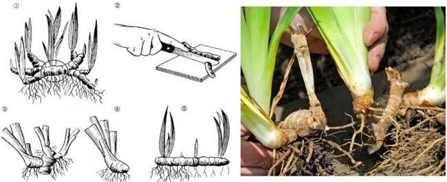 Способы размножения ирисов