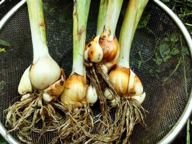 Размножение луковичных