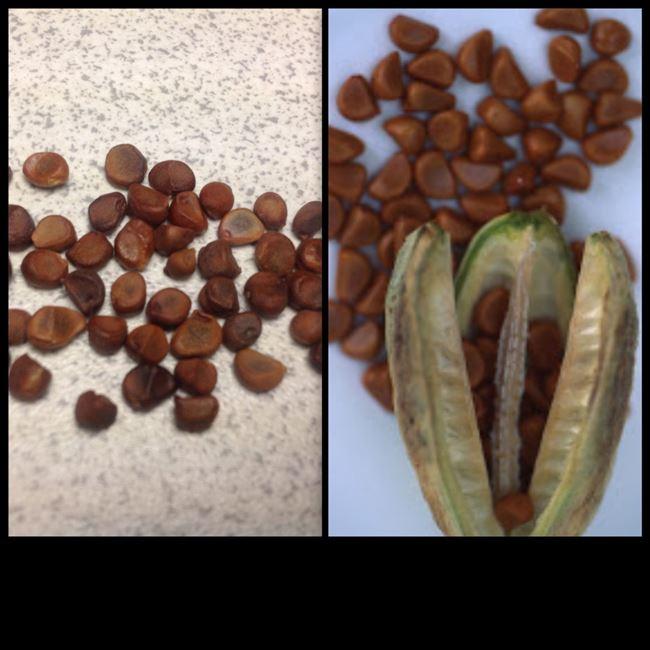 : Как размножить семенами