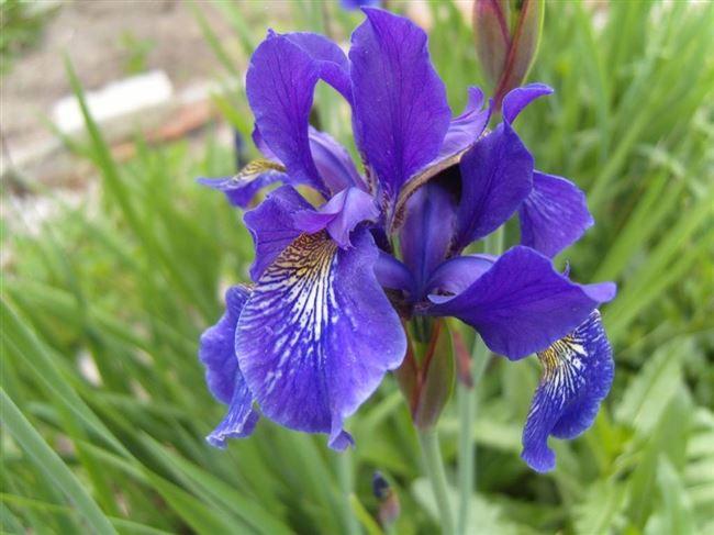 Описание цветка сибирского ириса