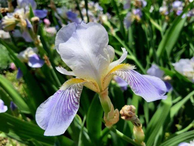 Выращивание ирисов и уход за цветами