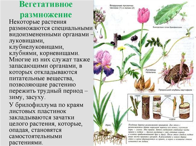 Размножение вегетативное
