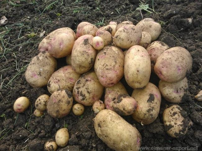 Сорт картофеля Боровичок описание
