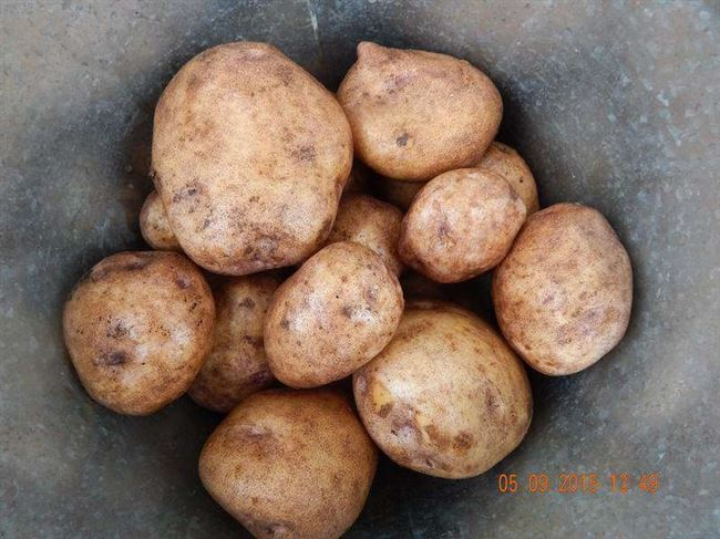 Посадка и выращивание сорта картофеля Голубизна