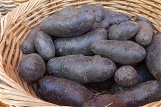 Посадка и уход за картофелем Гурман