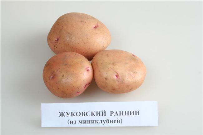 Описание картофеля Жуковский ранний