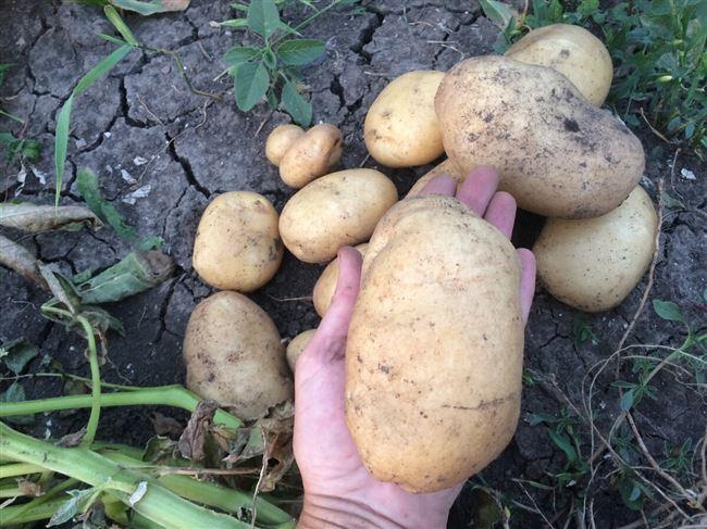 История происхождения сорта картофеля Крепыш