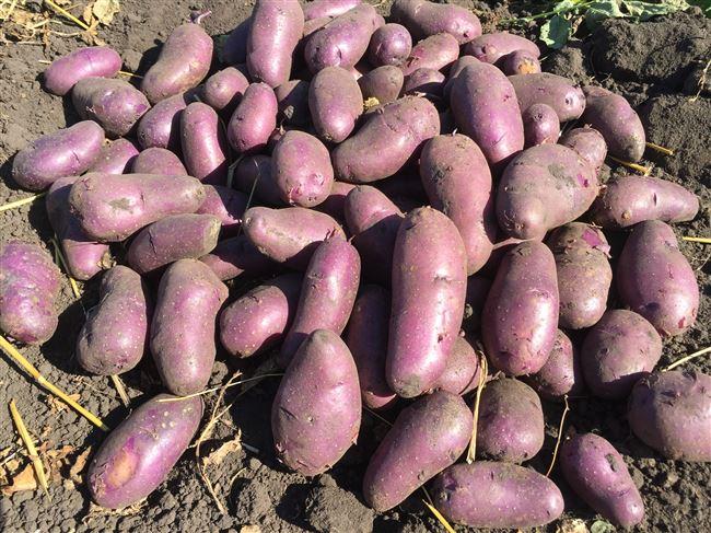 Уход за картофельными кустами