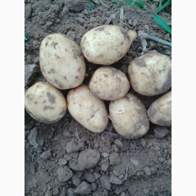 Отзывы о картофеле Ривьера