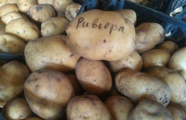 Характеристика сорта картофеля Ривьера