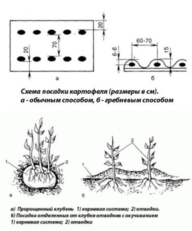 Время и схема посадки картофеля