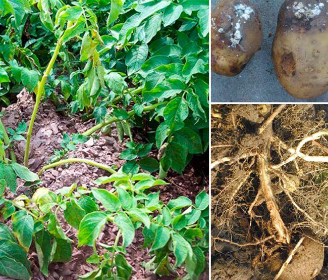 Причины развития фузариоза картофеля