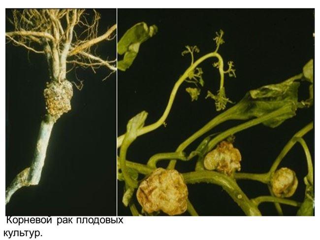 Бактериальный рак корней