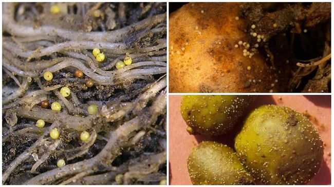 Признаки заражения растений нематодой
