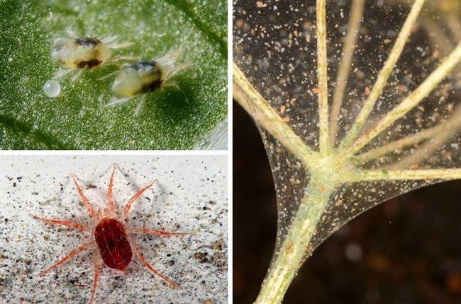 От чего появляется паутинный клещ на цветах и его профилактика