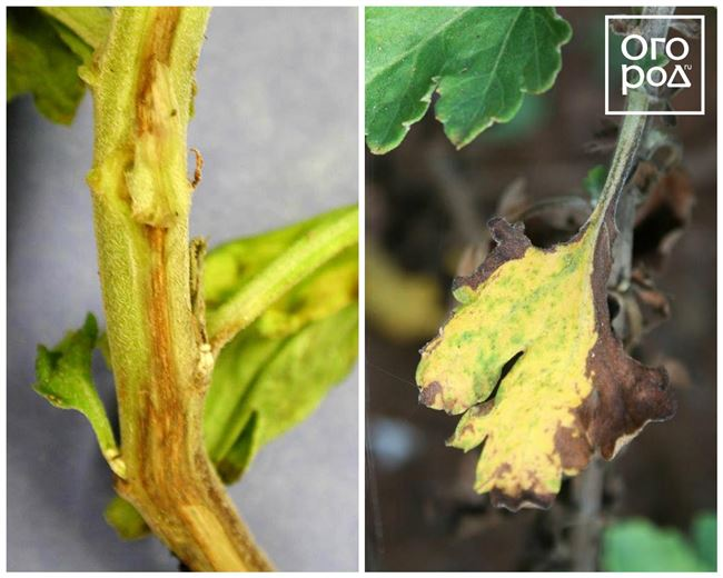 Профилактика болезней и вредителей у хризантем
