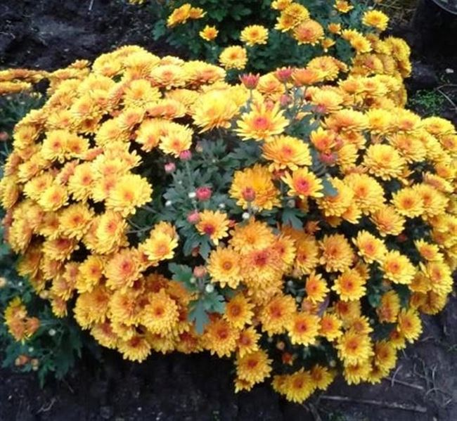Описание хризантемы Мультифлора