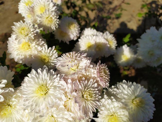 Как правильно посадить хризантемы