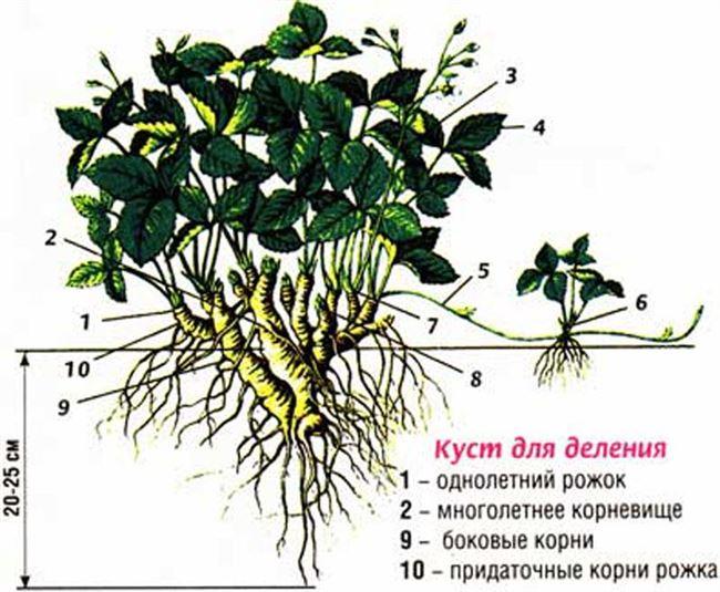 Размножение делением кустов