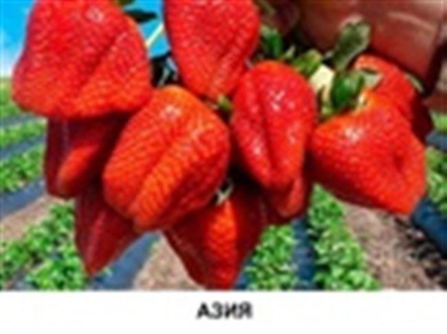 Клубника Азия – размножение