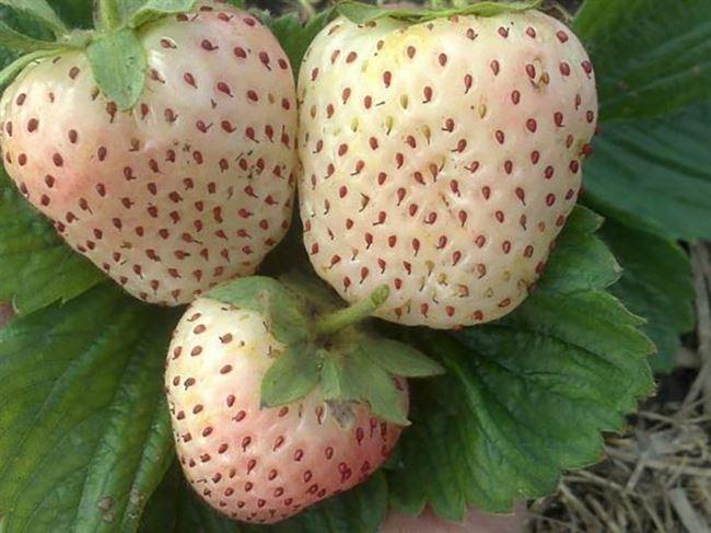 Как выглядят плоды?
