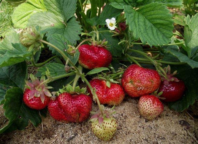 История появления садовой земляники
