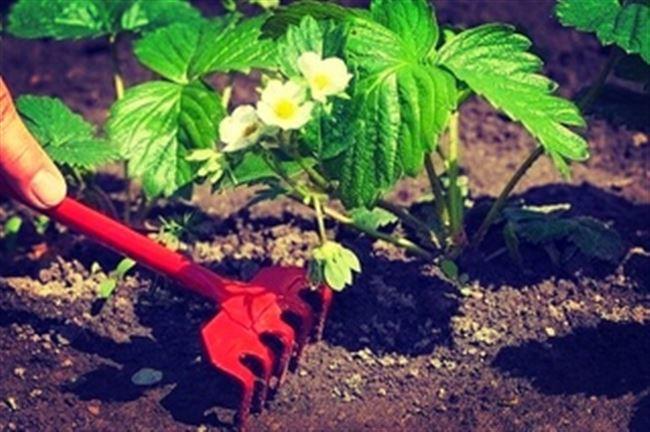 Рыхление, борьба с сорняками