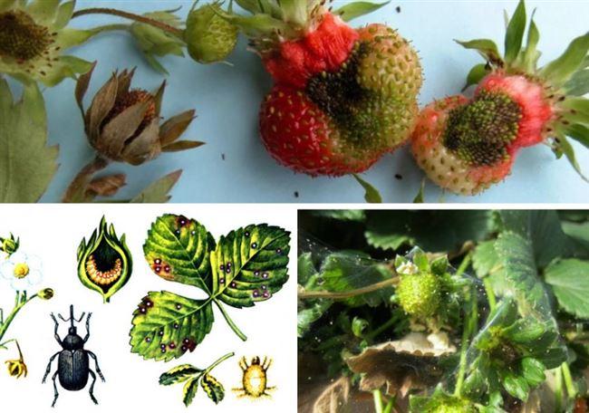 Биологические методы защиты клубники от вредителей