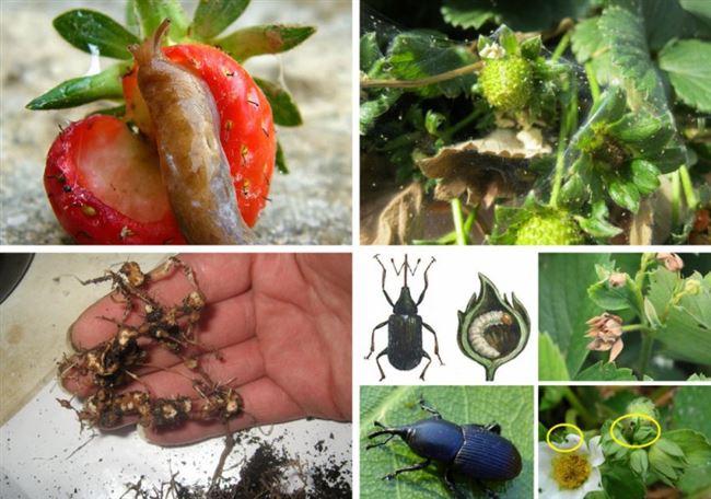 Химические методы защиты клубники от вредителей