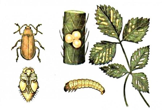 Методы борьбы с вредителями клубники