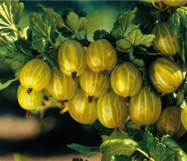 Плодоношение, урожайность