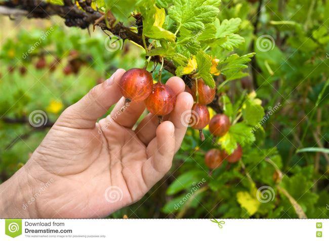 Сбор урожая вручную и при помощи различных приспособлений