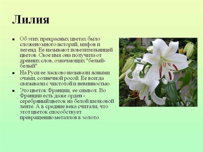 Лилия – описание, строение, характеристика. Как выглядит лилия?