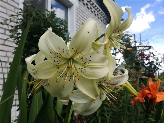 Посадка и уход за лилиями