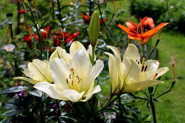 Описание лилии