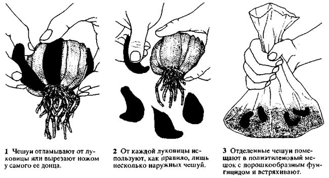 Размножение лилий семенами