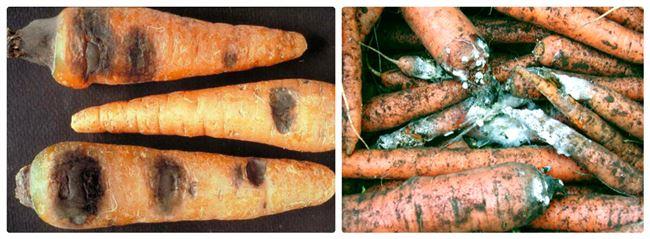 Причины гнили моркови