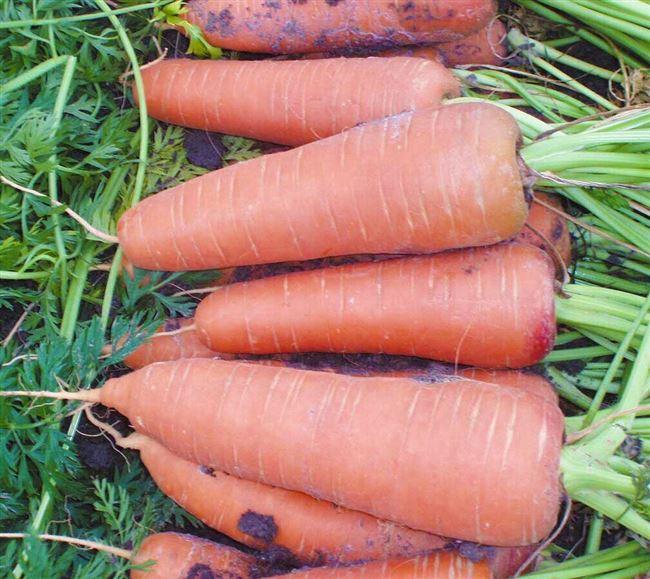 Отзывы о гибриде моркови Каскад