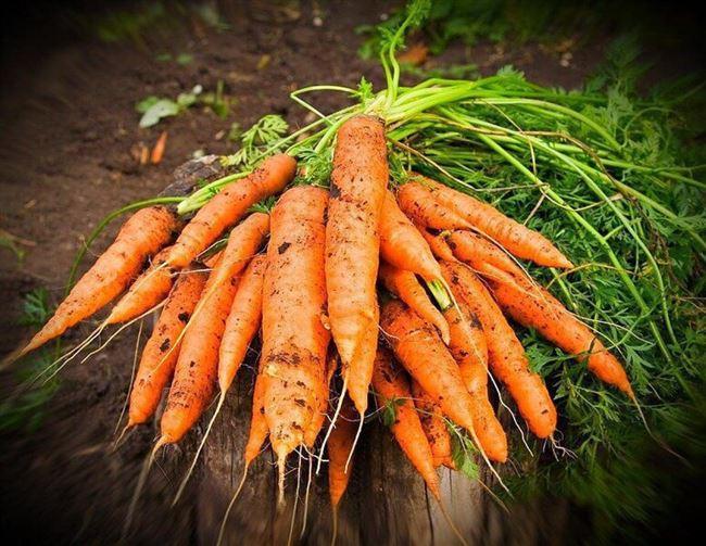 Выращивание моркови и уход за ней