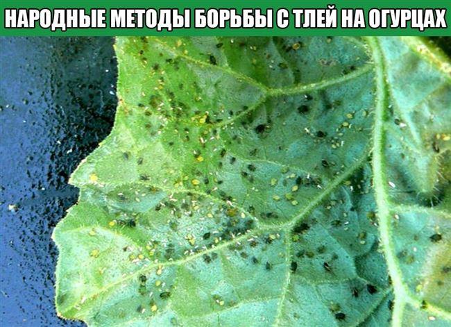 Растения, отпугивающие тлю