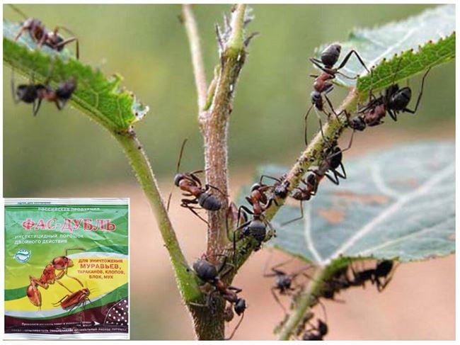 Методы борьбы с муравьями в теплице