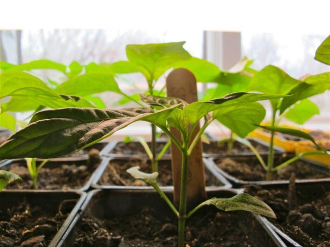 Перенос рассады в грунт и уход за растениями