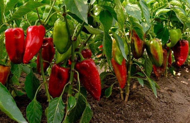 Особенности выращивания сладкого перца, посадка и уход